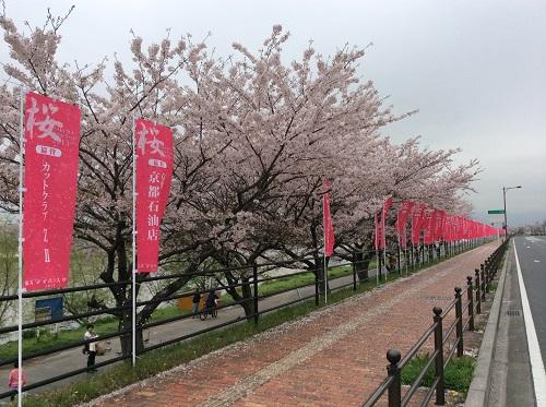 今川の桜も見納め(行橋市)