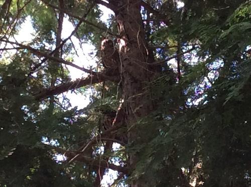 珍しい!夏の渡り鳥「アオバズク」を行橋で発見!