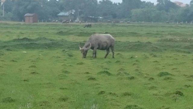 ベトナム農業を支える原動力は水牛!