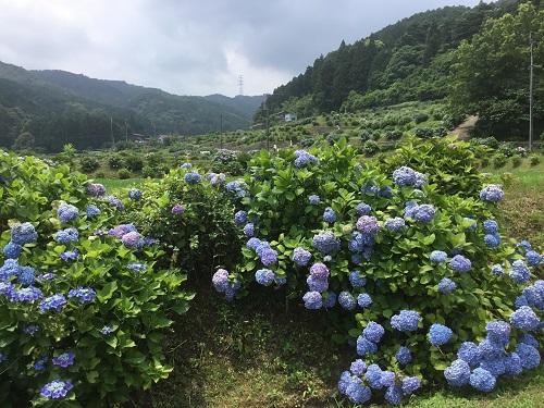 梅雨の棚田を彩る16,000本の紫陽花