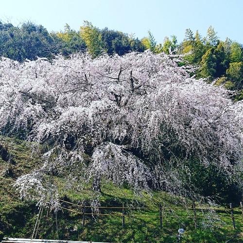 天神山しだれ桜 今が見ごろ