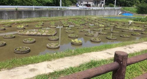 みやこ町花菖蒲公園来年に向けて少し早めの刈り取り