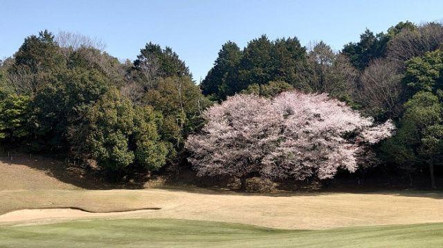 山桜開花!勝山御所カントリークラブに春到来!