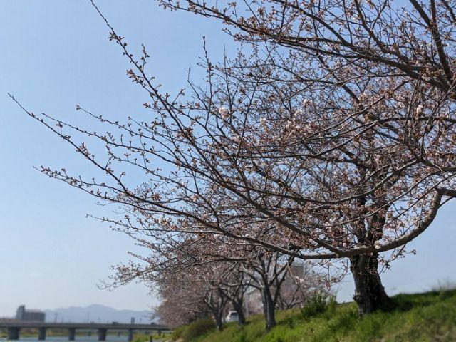 全国ニュースで「桜福岡満開!」というので今川に行ってみた㈴...